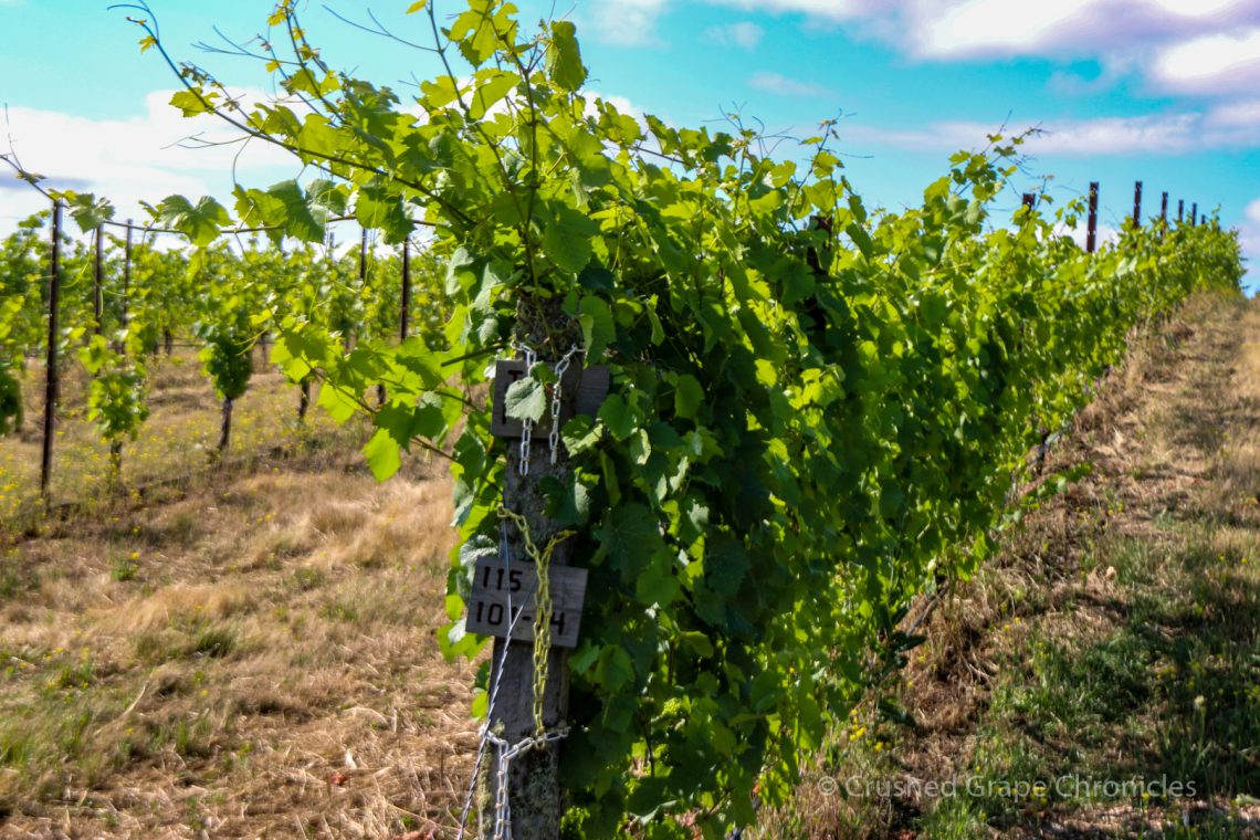 Vines at Johan Vineyard