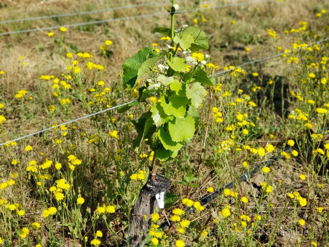 Recently grafted vines at Johan Vineyard in the Van Duzer Corridor