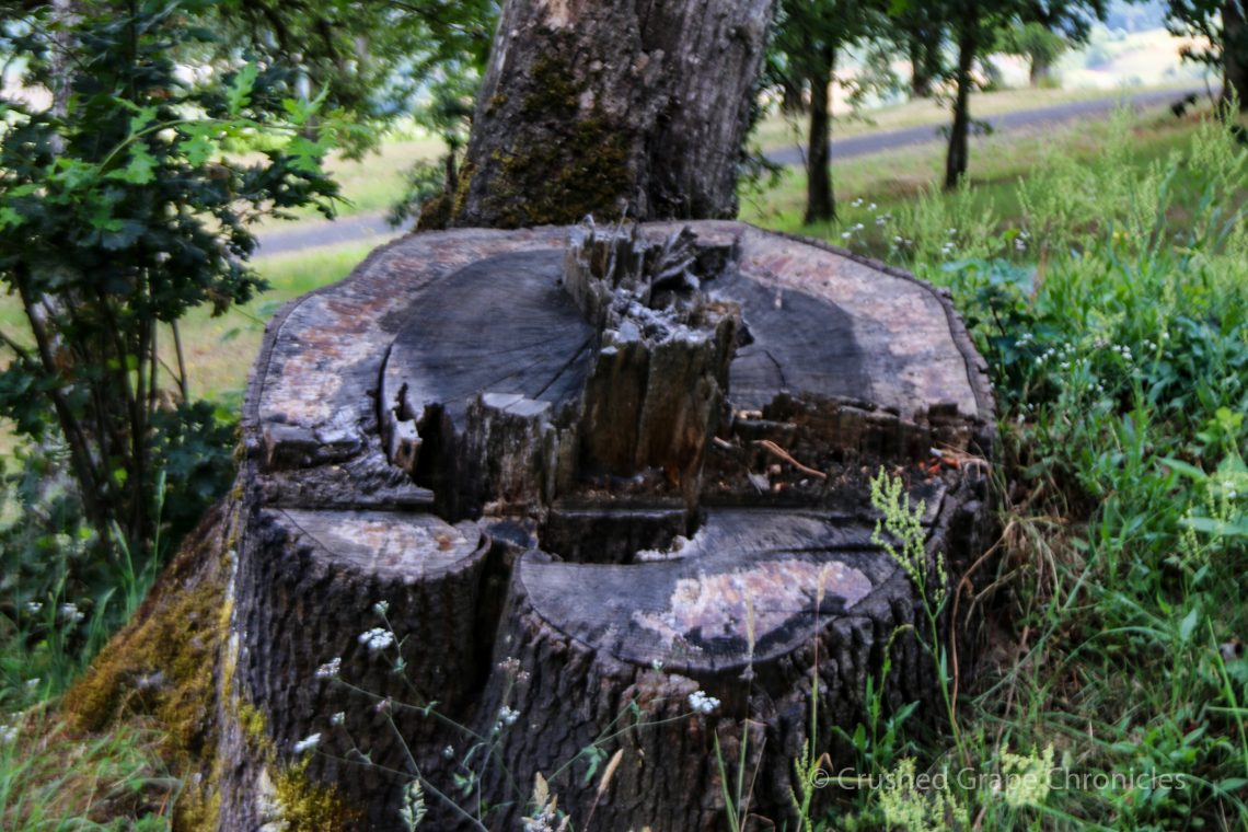 Tree stump inoculated for mushrooms at Johan