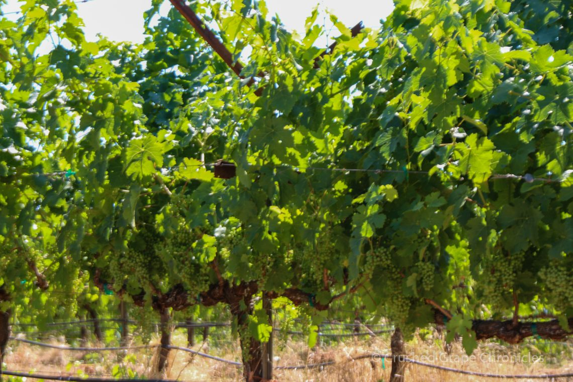 Happy vines at Quady North's Mae's Vineyard
