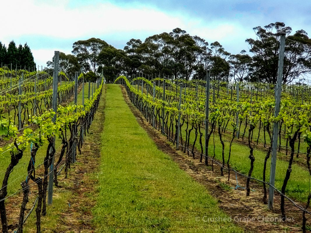 Vineyard at Artemis in Southern Highlands New South Wales Australia