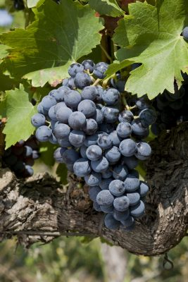 Grenache grapes in Rasteau Photo Courtesy of Inter-Rhône