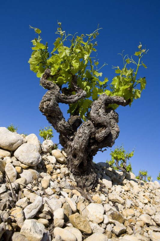 Old vines and galets or pudding stones AOC Rasteau Photo Courtesy of Inter-Rhône