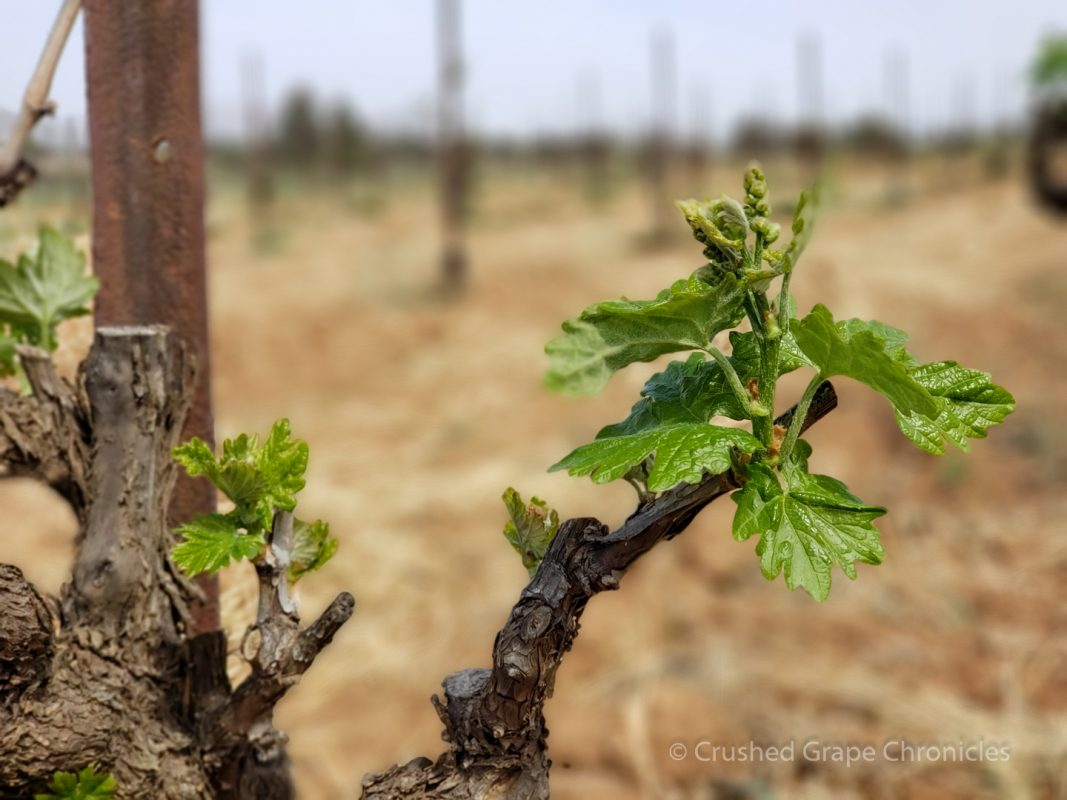 Zinfandel Vines with leaves just coming out at Lowe Wines Tinja vineyard in Mudgee Australia