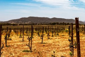 Bush trained vines at Lowe Wine in Mudgee Australia