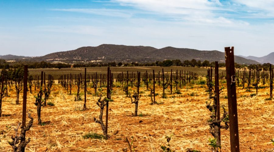 Bush trained vines at Lowe Wine in Mudgee Australia