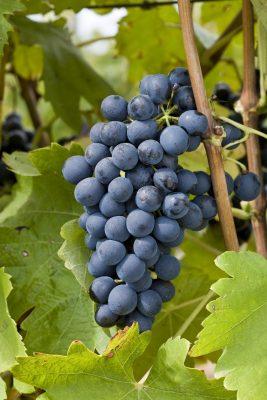 Syrah grapes in Rasteau Photo Courtesy of Inter-Rhône