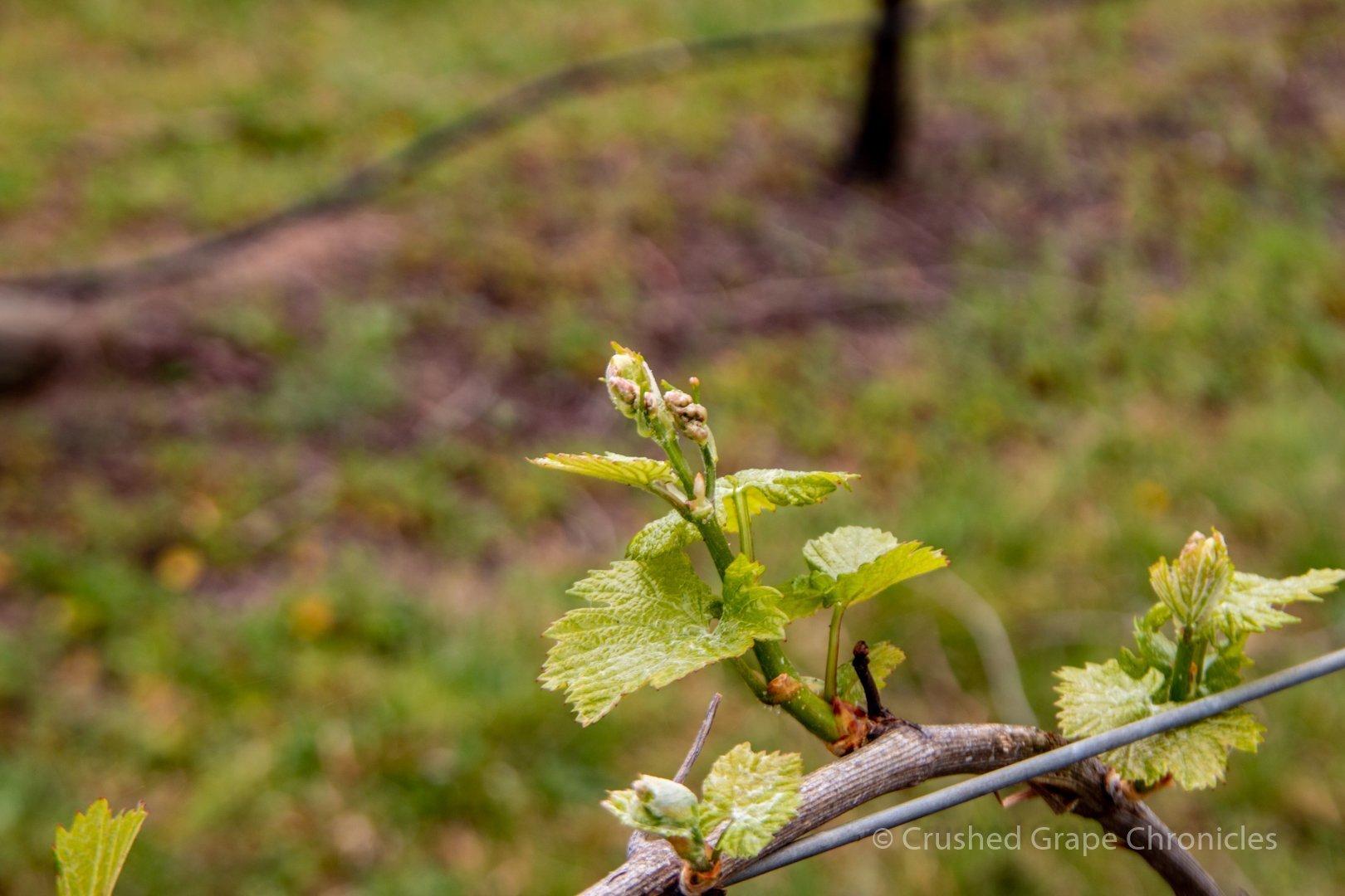 Spring Vines in Tertini's Yaraandoo Vineyard in Southern Highlands New South Wales Australia