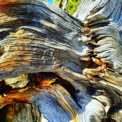 Tree roots at Mount Charleston