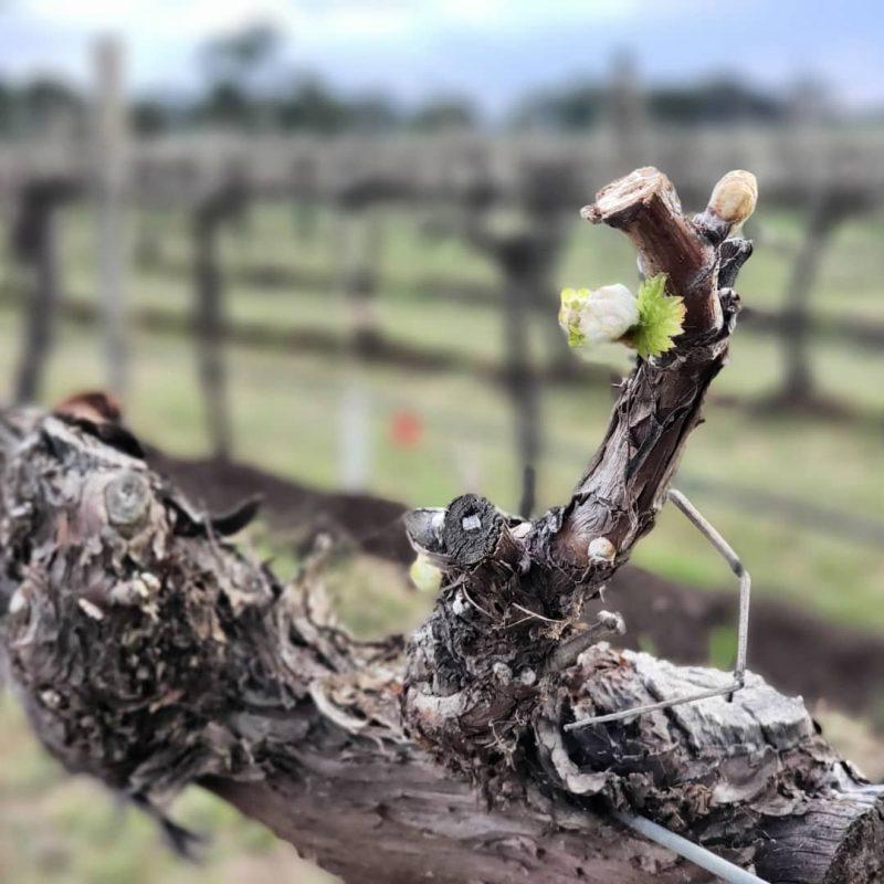 Spring Vines at Vinifera