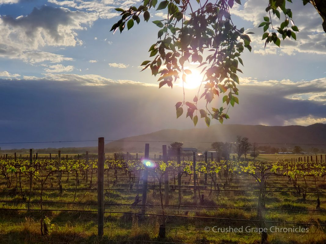 Sunrise in Mudgee over the vines at Vinifera