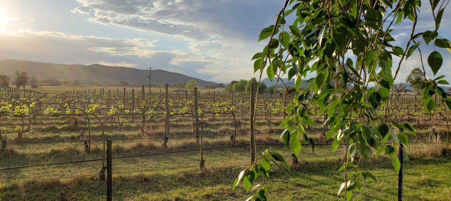 Mudgee Wine Region, Vinifera Vineyard Sunrise Mudgee NSW Australia