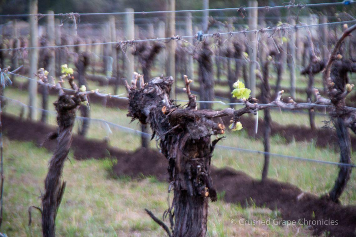 New green on the vines at Vinifera Mudgee NSW Australia