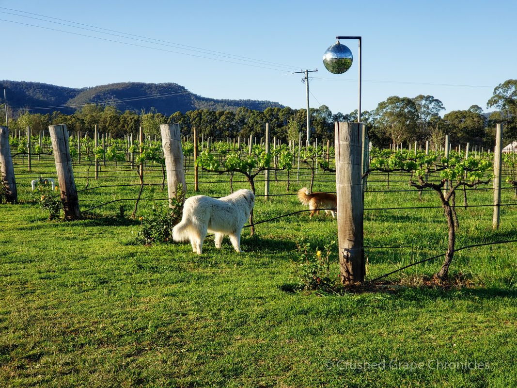 Krinklewood in Hunter Valley Australia 2019 Biodynamic Vineyard