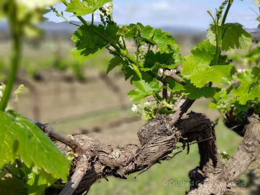 Riesling vine at Robert Stein Vineyard Mudgee NSW Australia