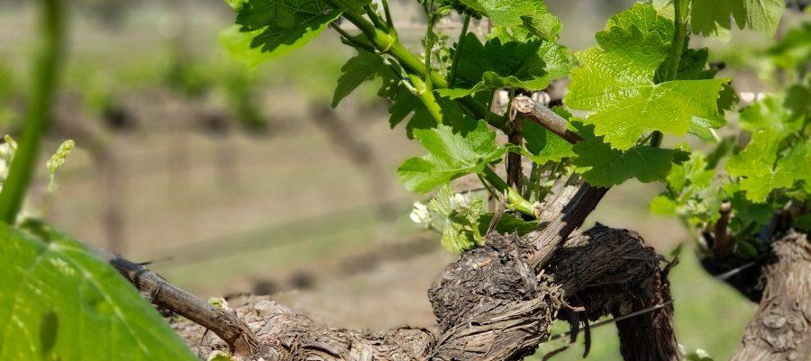 Riesling vine at Robert Stein Vineyard Mudgee NSW Australia
