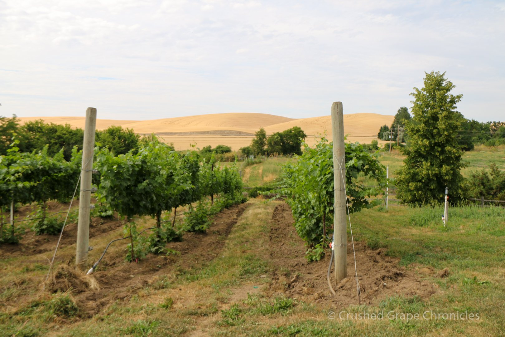 Vines running North to South in the Valley Grove Vineyard in the Walla Walla AVA