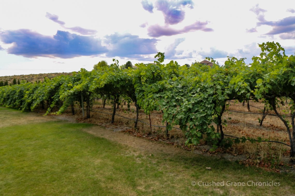 Cab Franc on the lawn at Kitzke's Candy Ridge Vineyard
