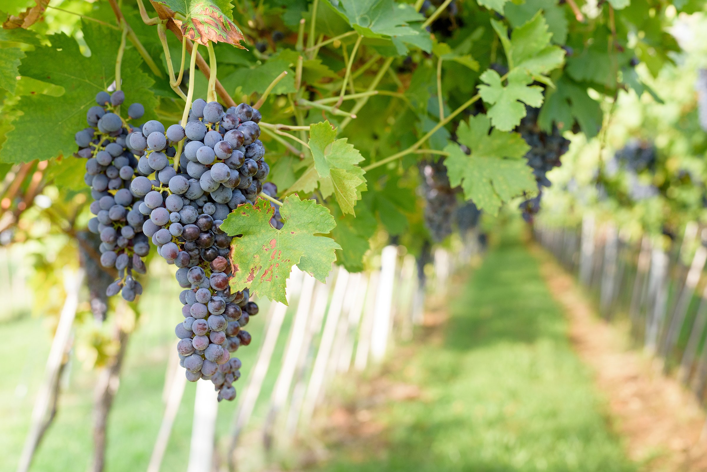 Bunches of ripered grapes ready to be picked up and will become a tasty wine like Valpolicella Amarone or Recioto