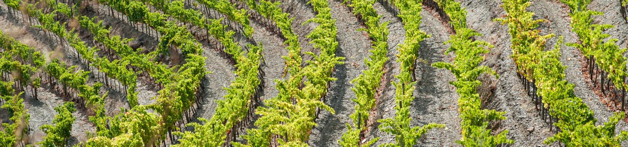 Close-up of vineyard in Priorat, Spain.