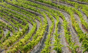 Close-up of vineyard in Priorat, Spain.