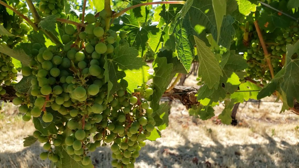 Chardonnay on Roskamp Vineyard