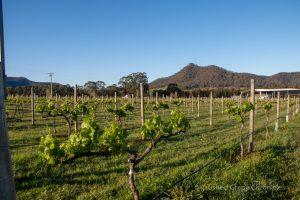 Krinklewood, biodyamic Vineyard, in New South Wales, The Hunter, Australia