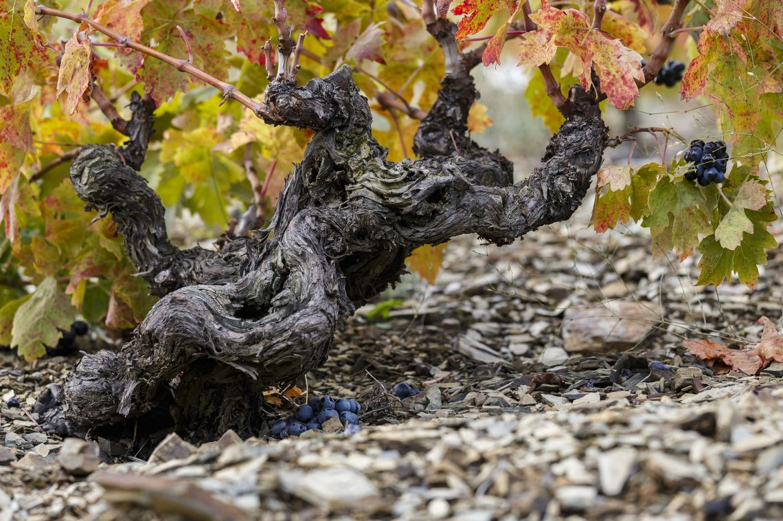 Old grenache grapevine with llicorella soil in Priorat Region, Tarragona, Catalonia, Spain