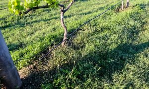 Drip irrigation at Krinklewood Vineyard, in NSW Australia 2019