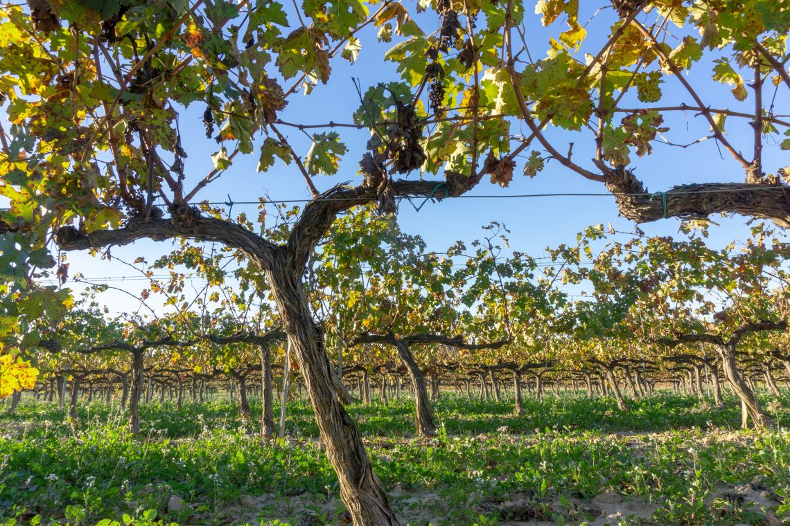 WinegrapesincavadistrictSantSadurnídAnoiaoutsideofBarcelonaSpainduringspring.