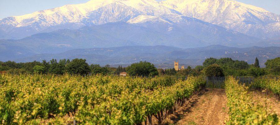 Snow capped Pyrenees and vineyardVignoble avec vue sure le Mont Canigou dans les Pyrenees Orientales (France) by matteo Scarano Adobe Stock