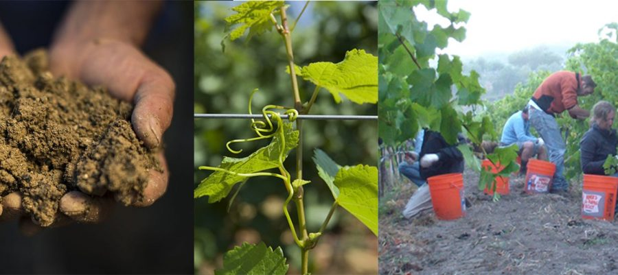 Collage of hands and soil, vines in spring and workers picking wine grapes