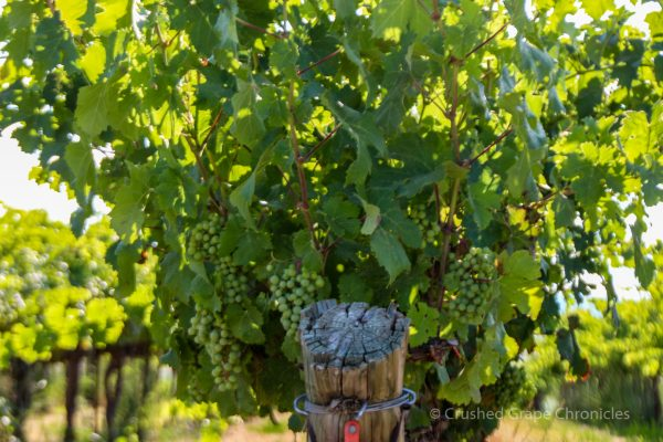 Red Willow Vineyard Grapes in Yakima Valley AVA in Washington State