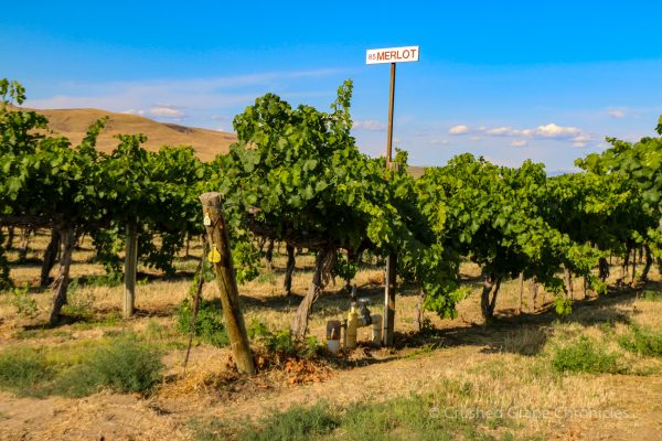 Red Willow Vineyard Merlot Grapes in Yakima Valley AVA in Washington State