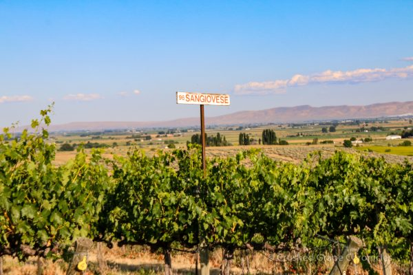 Red Willow Vineyard Sangiovese Grapes in Yakima Valley AVA in Washington State