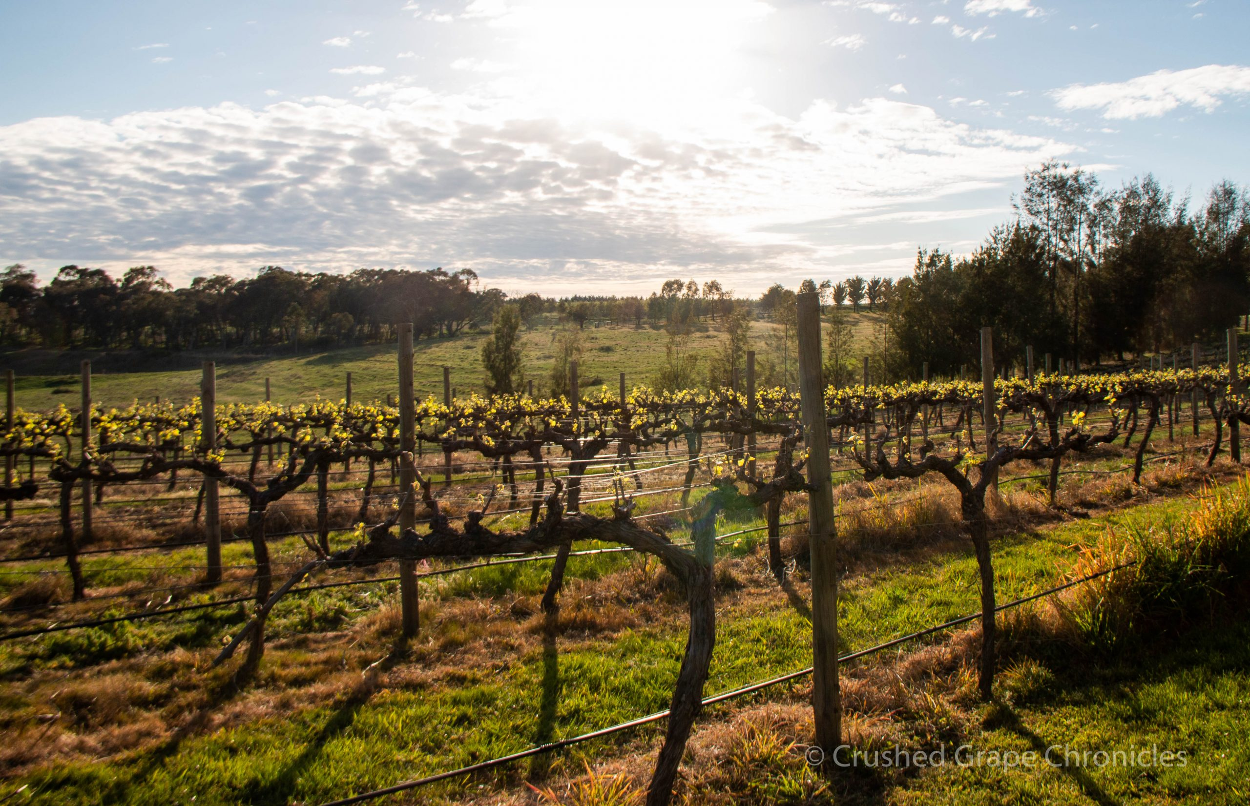 The vineyard view at Nashdale Lane, Orange NSW Australia
