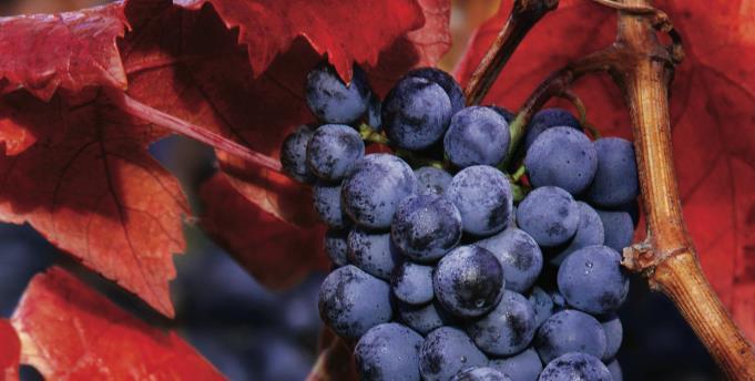Carmenere Grape courtesy of Concha Y Toro
