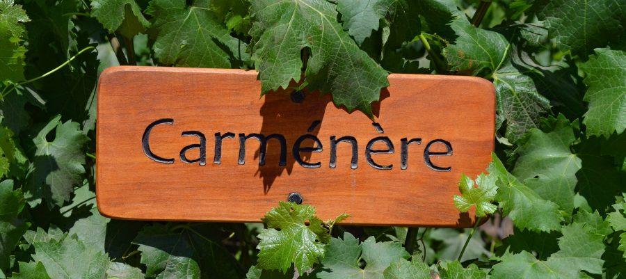 Dec 20, 2015 - Santiago, Chile: Grape varietal Carmenere growing in the Concha y Toro vineyards