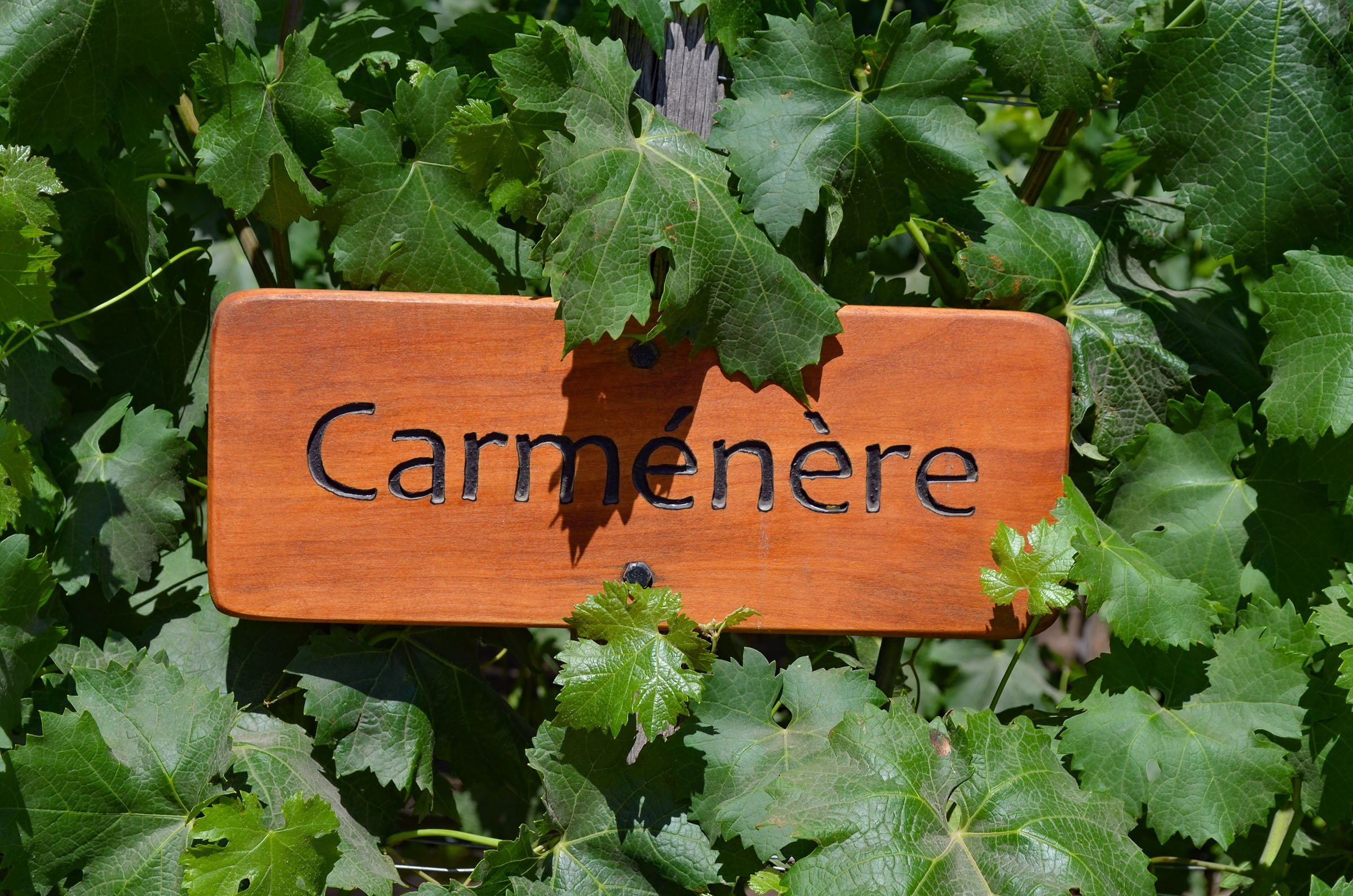 Dec 20, 2015 - Santiago, Chile: Grape varietal Carmenere growing in the Concha y Toro vineyards