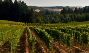Utopia Vineyard in the Summer in Oregon's Ribbon Ridge AVA (photo courtesy Utopia Wine