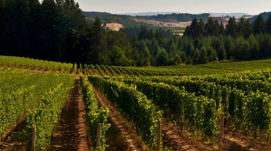 Utopia Vineyard in the Summer in Oregon's Ribbon Ridge AVA (photo courtesy Utopia Wine