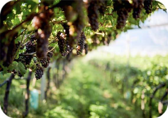 Pinot Grigio in the Delle Venezie image courtesy Regine Rousseau & Consorzio delle