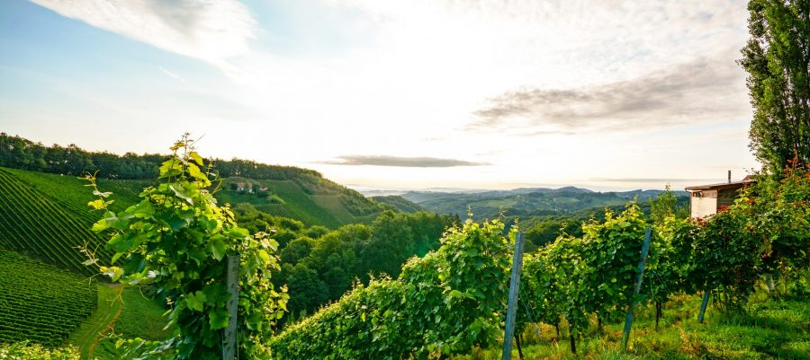 Steep Vineyard with White Wine Grapes near a winery in Abruzzo Photo Courtesy The Charming Taste of Europe