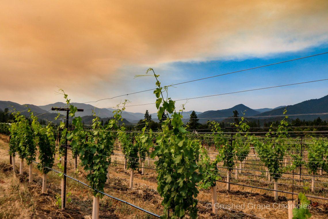 Troon vineyard in early August 2021