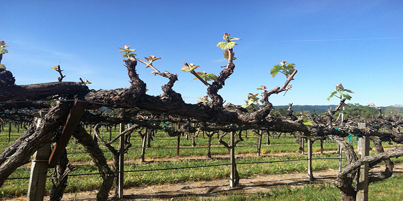 Bud Break In Paso Robles