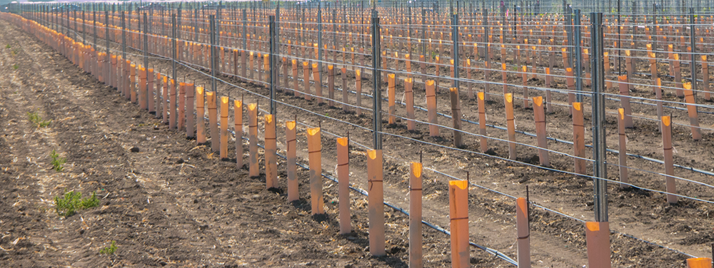 Riverbench Vineyard, planting 2014